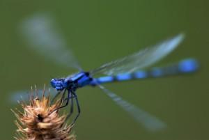 zygoptera-40338